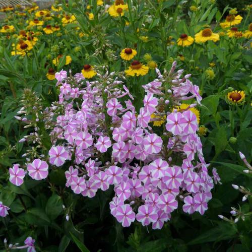 Phlox maculata 'Natascha' - nativar with unique bi-color flowers in summer ©US Perennials