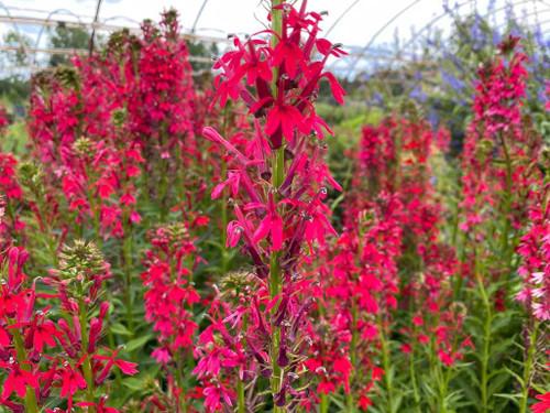 Lobelia - Cardinal Flower 'Pink Flame' - late summer perennial for medium to moist soil ©Intrinsic Perennial Gardens