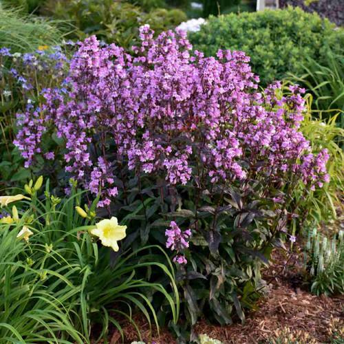 Penstemon 'Midnight Masquerade' - showy perennial for sunny garden ©Walters Gardens