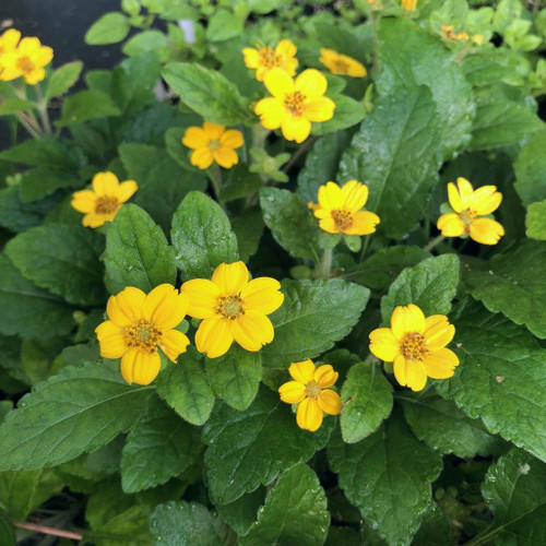 Green and Gold 'Allen Bush' - neat and adaptable groundcovering perennial ©US Perennials
