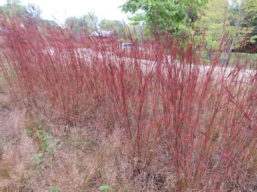 Andropogon - Big Bluestem 'Dancing Wind'  - showy selection of the tall native grass ©Mark Dwyer
