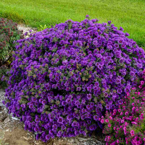 New England Aster 'Grape Crush' - new cultivar of native perennial with nice round mounds and good height ©Walters Gardens