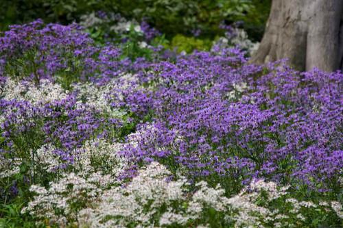 Great perennial combo in woodland edge garden - Aster 'Twilight' and Aster divaricatus. © and design Nigel Dunnett