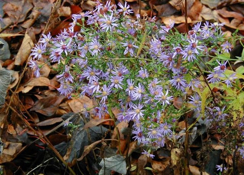 Aster cordifolius - Wood Blue Aster - very late flowering perennial with small flowers arranged in bigger clusters ©Sten