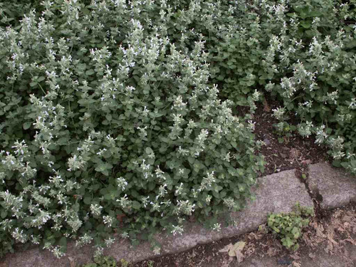 Nepeta x faassenii 'Alba' - perennials with low mounds of grayish leaves and small white flowers ©US Perennials