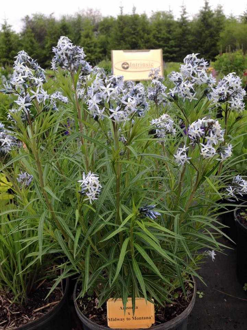 Amsonia 'Midway to Montana' - tought and long-lived perennial for sun or half shade ©Intrinsic Perennial Gardens