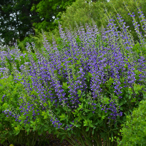 Baptisia 'Blueberry Sundae' - top performing and easy to grow perennial ©Walters Gardens