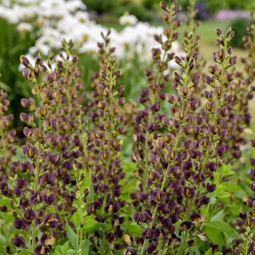 Baptisia 'Dark Chocolate' - drought and heat tolerant perennials ©Walters Gardens
