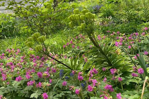 Geranium 'Bevan's' is reliable groundcover for half shade ©Austin Eischeid Garden Design