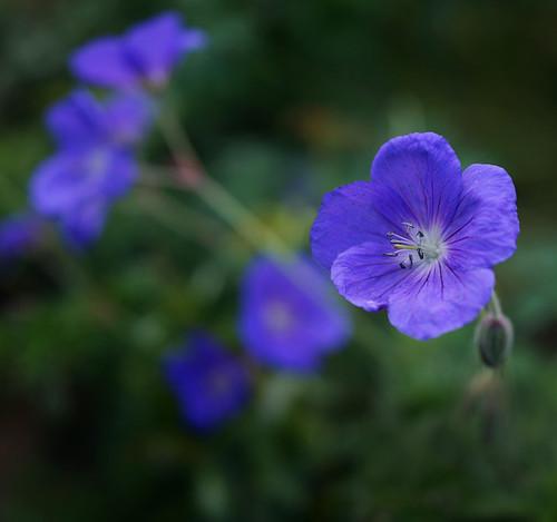 Geranium 'Brookside' - great filler and somewhat ground covering perennial ©Dmitriy Konstantinov