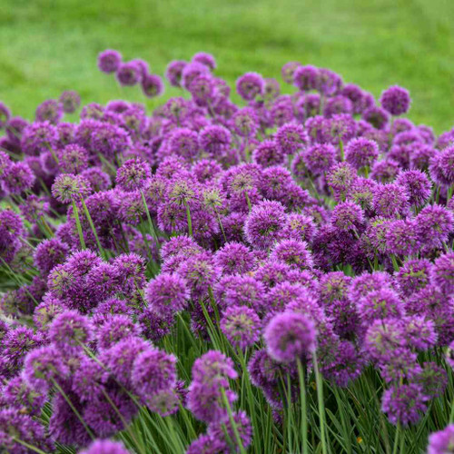 Ornamental Onion 'Lavender Bubbles' - late summer blooming perennial, fully deer resistant ©Walters Gardens