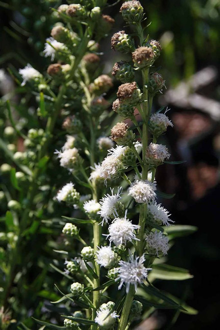 Liatris scariosa 'Alba' - sun loving perennial for average to dry soil, Monarch Butterfly's favorite ©David J. Stang