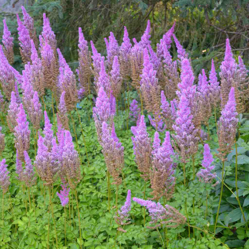 Chinese Astilbe 'Purple Candles' - later blooming astilbe for shade garden ©Walters Gardens