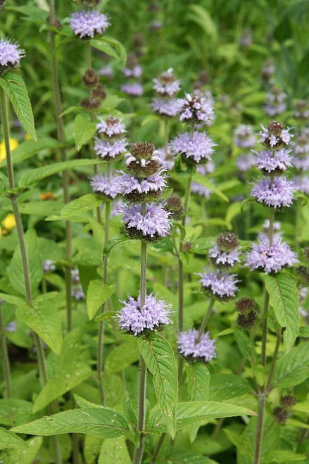 Downy Wood Mint or Downy Pagoda Plant - showy perennial and pollinators' favorite ©Michael Wolf