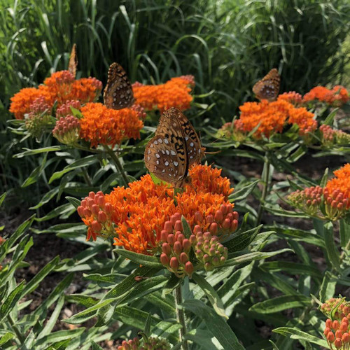 Asclepias tuberosa var. interior - butterfly milkweed suitable for clay soil ©US Perennials
