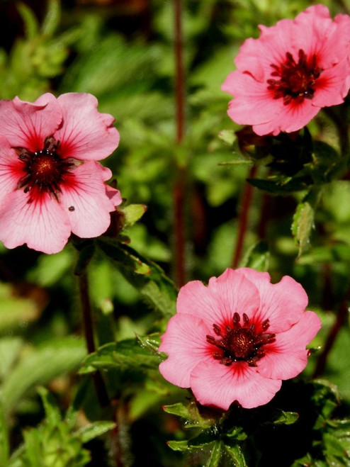 Cinquefoil 'Ron McBeath' - smaller plant for the front of any sunny bed ©US Perennials