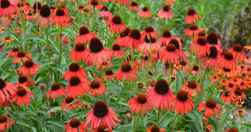 Echinacea 'Postman' - highly recommended perennial for sunny garden and pollinator support ©Mt. Cuba