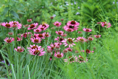 Echinacea 'Pixie Meadowbrite' - compact, long-lived perennial and top performing coneflower ©Andrew Marrs Garden Design