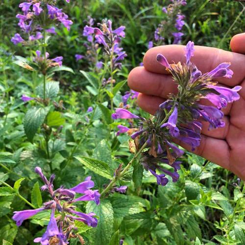 Catmint 'Weinheim Big Blue' - long-flowering perennial for sunny garden ©US Perennials
