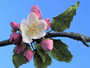Apple Blossom Gumpaste Cutter