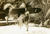 "Koa Surfboard Triple Stringer 72"" X 12"" Hawaiian Vintage   #koalb27"