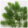 Ceratophyllum demersum - Hornwort - Bunched Pack of 5