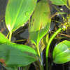 Potamogeton natans - Broad leaved pondweed - Bunched
