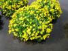 Marginal Plant Collection for Colour