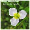 Baldellia Ranunculoides – Lesser water plantain