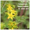 Hypercium Tetrapterum – Square-stalked St. John's wort