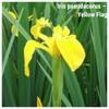 Iris pseudacorus – Yellow Flag