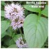 Mentha Aquatica – Water mint