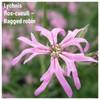 Lychnis flos-cuculi – Ragged robin