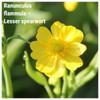 Ranunculus flammula – Lesser spearwort