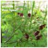 Scrophularia auriculata – Water figwort