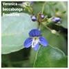 Veronica beccabunga - Brooklime