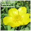 Ranunculus lingua Grandiflorus – Greater spearwort