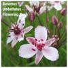 Butomus Umbellatus - Flowering Rush