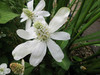Scented Marginal Pond Plant Collection WOWSCENT