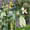 Scented Marginal Pond Plant Collection