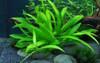 Helanthium 'Quadricostatus' 1-2-Grow - Aquarium Plant