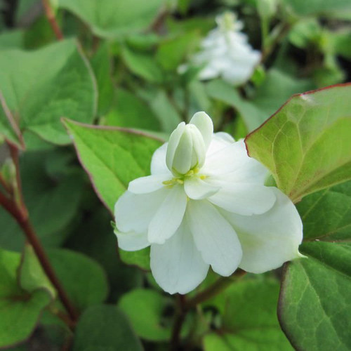 Houttuynia cordata 'Plena' - Orange peel plant