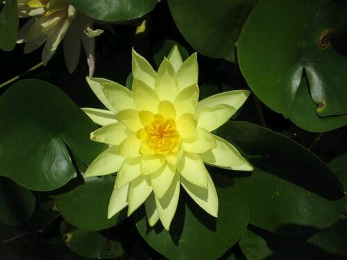Nymphaea Marliacea Chromatella - Yellow Water Lily