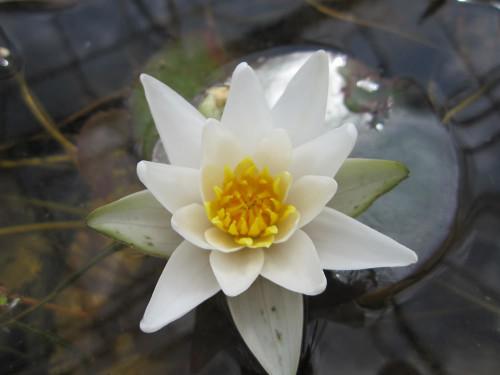 Nymphaea Pygmaea alba  - Pygmy White Water Lily