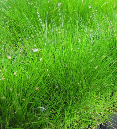 Eleocharis acicularis - Needle spike - Rush