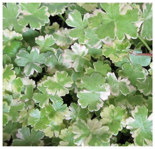 Hydrocotyle sibthorpioides variegata