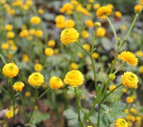 Ranunculus acris Flore Pleno - Yellow bachelors buttons