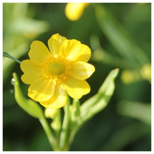 Ranunculus flammula