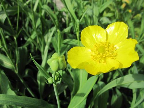 Ranunculus lingua Grandiflorus - Spearwort
