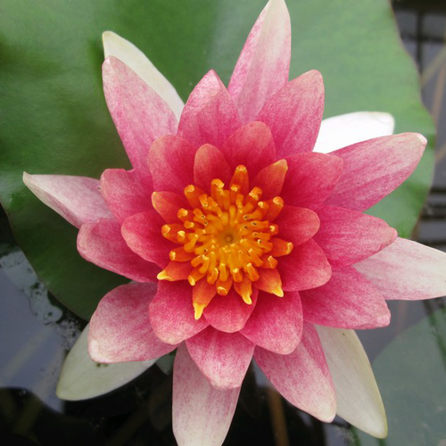 Nymphaea Comanche - Variable Water Lily